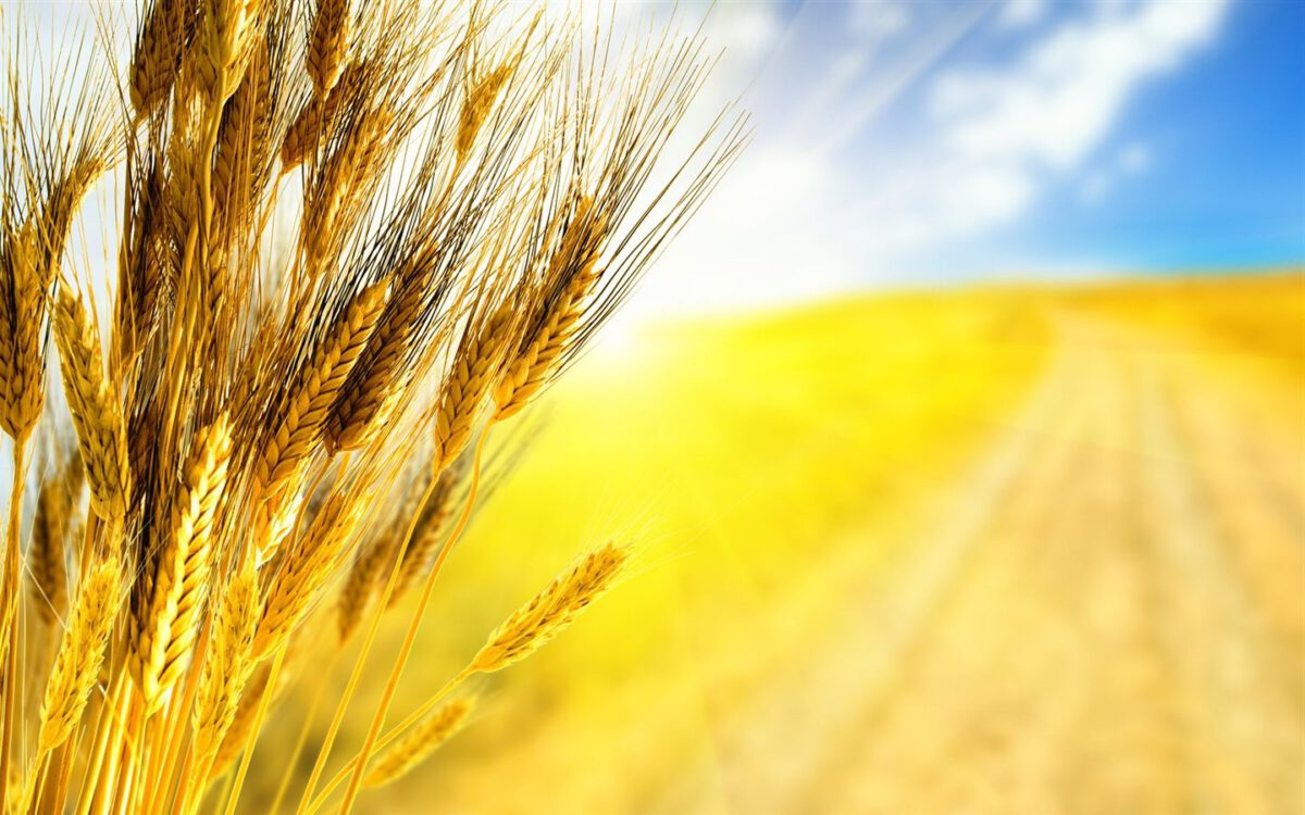 Getreide im Sonnenschein